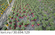 Купить «Picture of seedlings of tomatoes growing in pots in greenhouse, nobody», видеоролик № 30694129, снято 26 апреля 2019 г. (c) Яков Филимонов / Фотобанк Лори