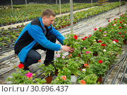 Купить «Man gardener working with crane's-bill flowers in greenhouse», фото № 30696437, снято 9 апреля 2019 г. (c) Яков Филимонов / Фотобанк Лори