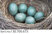 Купить «Thrush's nest with six blue eggs close up in spring. Slow motion», видеоролик № 30700673, снято 6 мая 2019 г. (c) Георгий Дзюра / Фотобанк Лори