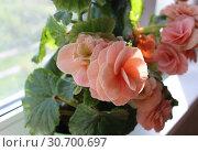 Бегония клубневая (Begonia tuberhybrida) на подоконнике. Стоковое фото, фотограф Елена Орлова / Фотобанк Лори