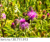 Купить «Butterfly pestryanka sitting on field cornflower in sunny summer day», фото № 30711913, снято 25 июля 2017 г. (c) Наталья Волкова / Фотобанк Лори