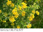 Купить «Yellow blooms of Teline osmariensis», фото № 30712577, снято 24 июля 2019 г. (c) Яков Филимонов / Фотобанк Лори