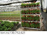 Купить «Geranium flowers carefully growing in flowerpots in glasshouse farm», фото № 30712621, снято 9 апреля 2019 г. (c) Яков Филимонов / Фотобанк Лори