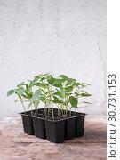 Купить «Pepper seedlings in black plastic cups on the table», фото № 30731153, снято 9 мая 2019 г. (c) Катерина Белякина / Фотобанк Лори