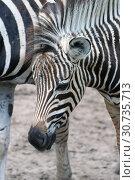 Купить «Портрет молодой зебры», фото № 30735713, снято 21 марта 2019 г. (c) Григорий Писоцкий / Фотобанк Лори