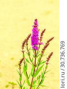 Купить «The herbaceous plant is a willowboot. Close-up.», фото № 30736769, снято 17 августа 2018 г. (c) Акиньшин Владимир / Фотобанк Лори