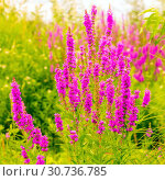 Купить «The herbaceous plant is a willowboot. Close-up.», фото № 30736785, снято 17 августа 2018 г. (c) Акиньшин Владимир / Фотобанк Лори