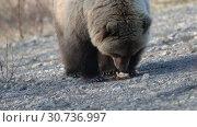 Купить «Прикормленный людьми камчатский бурый медведь ест пирожок», видеоролик № 30736997, снято 12 мая 2019 г. (c) А. А. Пирагис / Фотобанк Лори