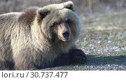 Купить «Портрет камчатского бурого медведя», видеоролик № 30737477, снято 12 мая 2019 г. (c) А. А. Пирагис / Фотобанк Лори
