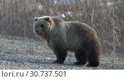 Купить «Камчатский бурый медведь ранней весной», видеоролик № 30737501, снято 12 мая 2019 г. (c) А. А. Пирагис / Фотобанк Лори