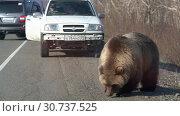 Купить «Дикий голодный камчатский бурый медведь попрошайка на автомобильной дороге», видеоролик № 30737525, снято 12 мая 2019 г. (c) А. А. Пирагис / Фотобанк Лори