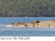 Купить «Макак-крабоед (лат. Macaca fascicularis) или яванский макак. Стая обезьян на острове в Таиланде», фото № 30738229, снято 19 марта 2019 г. (c) Григорий Писоцкий / Фотобанк Лори