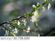 Купить «Cherry blossom, branch with flowers», фото № 30738609, снято 12 мая 2019 г. (c) EugeneSergeev / Фотобанк Лори