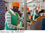 Купить «Focused man working on citrus sorting line at warehouse, checking quality of tangerines», фото № 30739017, снято 15 декабря 2018 г. (c) Яков Филимонов / Фотобанк Лори