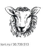 drawing of sheep's head in full face on white background. Стоковая иллюстрация, иллюстратор Татьяна Трощева / Фотобанк Лори