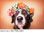 Купить «Bernese Mountain Dog Mongrel», фото № 30756581, снято 13 мая 2019 г. (c) age Fotostock / Фотобанк Лори