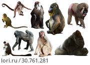primates isolated on white. Стоковое фото, фотограф Яков Филимонов / Фотобанк Лори