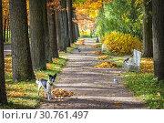 Купить «Собака на аллее Dog and birds on the alley in the park», фото № 30761497, снято 5 октября 2013 г. (c) Baturina Yuliya / Фотобанк Лори