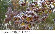 Купить «Замерзшая ветка Пузыреплодника калинолистного (Physocarpus opulifolius) в октябрьский заморозок», видеоролик № 30761777, снято 22 октября 2017 г. (c) Виктор Карасев / Фотобанк Лори