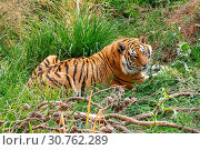 Купить «Tiger, Panthera tigris, the largest feline species», фото № 30762289, снято 21 сентября 2017 г. (c) easy Fotostock / Фотобанк Лори