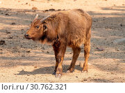Купить «Cape buffalo calf looking to the side», фото № 30762321, снято 21 сентября 2017 г. (c) easy Fotostock / Фотобанк Лори