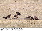 Купить «Грифы в дикой природе питаются трупом умершего животного в горах Тибета», фото № 30769705, снято 6 июня 2018 г. (c) Овчинникова Ирина / Фотобанк Лори