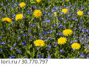 Купить «Spring meadow with blooming dandelions and veronica on a sunny day», фото № 30770797, снято 16 мая 2019 г. (c) Наталья Волкова / Фотобанк Лори
