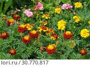 Купить «Бархатцы (лат. Tagetes) цветут на клумбе в саду», фото № 30770817, снято 14 июля 2018 г. (c) Елена Коромыслова / Фотобанк Лори