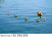 Купить «Огарь, или красная утка (лат. Tadorna ferruginea) с утятами», фото № 30780005, снято 16 мая 2019 г. (c) Natalya Sidorova / Фотобанк Лори