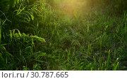 Купить «Beautiful grass in backlight at sunset. Russia», видеоролик № 30787665, снято 28 июня 2018 г. (c) Володина Ольга / Фотобанк Лори