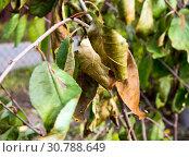 Купить «Засохшие больные листья плодового дерева», фото № 30788649, снято 11 октября 2018 г. (c) Вячеслав Палес / Фотобанк Лори