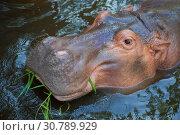 Купить «Голова бегемота, лежащего в воде, крупным планом», фото № 30789929, снято 20 декабря 2018 г. (c) Виктор Карасев / Фотобанк Лори