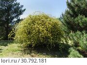 Купить «Большой куст вечнозеленой розы Бэнкс (лат. Rosa banksiae) из рода шиповник (лат. Rosa) семейства розоцветных в городском саду», фото № 30792181, снято 5 мая 2019 г. (c) Наталья Гармашева / Фотобанк Лори