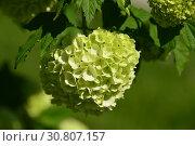 Купить «Калина Бульденеж, или Снежный шар (лат. Viburnum opulus var sterile) весной», эксклюзивное фото № 30807157, снято 18 мая 2019 г. (c) lana1501 / Фотобанк Лори