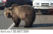 Купить «Камчатский бурый медведь попрошайка на автодороге», видеоролик № 30807509, снято 21 мая 2019 г. (c) А. А. Пирагис / Фотобанк Лори