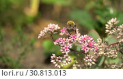 Купить «Bumblebee on pink flowers on sunny day. Pink bushes of flowers in garden or park», видеоролик № 30813013, снято 31 марта 2020 г. (c) Dmitry Domashenko / Фотобанк Лори