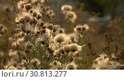 Купить «Fuzz of overripe thistle. Overripe fuzzy weed buds in light of setting sun», видеоролик № 30813277, снято 20 июня 2019 г. (c) Dmitry Domashenko / Фотобанк Лори