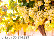 Купить «Ripe bunches of green grapes hanging», фото № 30814829, снято 17 февраля 2020 г. (c) Татьяна Яцевич / Фотобанк Лори