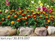 Купить «Бархатцы на клумбе в летнем саду», фото № 30819097, снято 22 июля 2018 г. (c) Елена Коромыслова / Фотобанк Лори