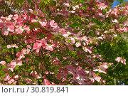 Купить «Pink dogwood, type of flowering tree that produces brightly colored pink flowers. Scientific name for pink dogwood is Cornus Florida Rubra», фото № 30819841, снято 8 мая 2019 г. (c) Валерия Попова / Фотобанк Лори