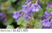 Купить «Purple flowers Glechoma hederacea», видеоролик № 30821405, снято 14 мая 2019 г. (c) Константин Мерцалов / Фотобанк Лори