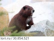 Купить «Vancouver Island marmot», фото № 30854521, снято 28 мая 2019 г. (c) age Fotostock / Фотобанк Лори