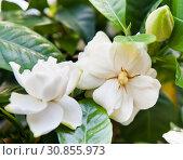 Гардения жасминовидная (Gardenia jasminoides). Белые цветы (крупный план) Стоковое фото, фотограф E. O. / Фотобанк Лори