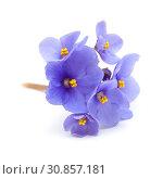 Купить «голубая африканская фиалка на белом фоне», фото № 30857181, снято 28 мая 2019 г. (c) Tamara Kulikova / Фотобанк Лори