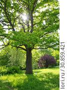 Купить «Дуб и солнце весенним днем», фото № 30859421, снято 20 мая 2019 г. (c) Елена Коромыслова / Фотобанк Лори