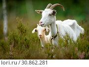 Купить «Goats», фото № 30862281, снято 28 мая 2019 г. (c) age Fotostock / Фотобанк Лори