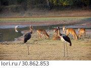 Купить «Saddle-bill storks», фото № 30862853, снято 28 мая 2019 г. (c) age Fotostock / Фотобанк Лори