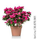 Azalea flower is in the pot. Bright beautiful pink flowers isolated on white. Стоковое фото, фотограф Сергей Молодиков / Фотобанк Лори