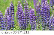 Купить «Many beautiful glade with blooming lupins», видеоролик № 30871213, снято 4 июня 2019 г. (c) Володина Ольга / Фотобанк Лори