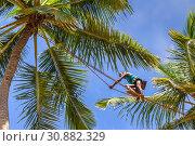 Темнокожий мужчина - сборщик сока кокосовых пальм, идет по канату, натянутому между деревьями. Шри-Ланка. Sanmali Beach Hotel, Marawila, Sri Lanka (2019 год). Редакционное фото, фотограф Владимир Сергеев / Фотобанк Лори